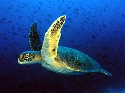 e - Zakynthos Ecology & Nature | Caretta Caretta Turtle or ...